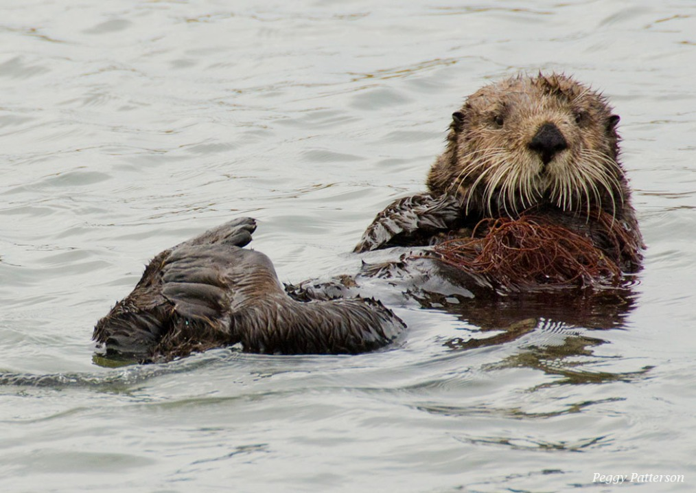 Sea Otters Quietly Battling Climate Change